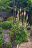 DIGITALIS SUTTONS APRICOT AND ARCHWAY AT WALTERS COTTAGE