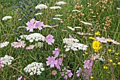 HAYFIELD WILDFLOWERS IN LATE SUMMER SHOWING MALVA MOSHCATA -MUSK MALLOW, DAUCUS CAROTA - WILD CARROT, ECHIUM VULGARE - VIPERS BUGLOSS AND SEED HEADS OF SILENE VULGARIS - BLADDER CAMPION.  SONCHUS OLERACEUS - SOW THISTLE IN FOREGROUND