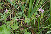 COMMON STORKSBILL, ERODIUM CICULARIUM GROWING IN GRASS