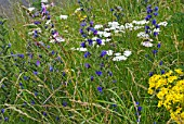 HAYFIELD WILDFLOWERS IN LATE SUMMER WITH ECHIUM VULGARE - VIPERS BUGLOSS, ACHILLEA MILLEFOLIUM - YARROW AND SENECIO JACOBAEA.