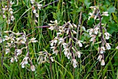 EPIPACTIS PALUSTRIS, MARSH HELLEBORINE, GROWING IN THE WILD.