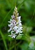 DACTYLORRHIZA FUCHSII, COMMON SPOTTED ORCHID, UNUSUAL PALE FORM.