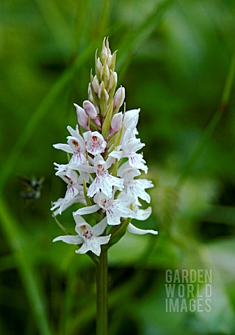 DACTYLORRHIZA_FUCHSII_COMMON_SPOTTED_ORCHID_UNUSUAL_PALE_FORM