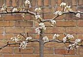 PEAR TREE ESPALIER TRAINED ON A WALL, DETAIL SHOWING PRUNING CUTS AND BLOSSOM