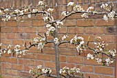 PEAR TREE ESPALIER TRAINED ON A WALL