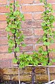 REDCURRANT GROWN AS CORDON PLANT TRAINED AGAINST A WALL