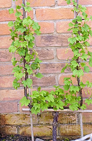 REDCURRANT_GROWN_AS_CORDON_PLANT_TRAINED_AGAINST_A_WALL