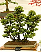 BONSAI TREE JAPANESE CEDAR, CRYPTOMERIA JAPONICA YATSUBUSA FOREST GROUP STYLE.