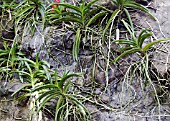 LITHOPHYTE ORCHIDS SHOWING ROOTS CLINGING TO THE ROCK FACE AT SINGAPORE NATIONAL ORCHID GARDEN