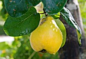 QUINCE, CYDONIA OBLONGA, RIPE HANGING FRUIT IN THE RAIN