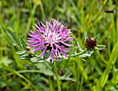 CENTAUREA PHRYGIA, WIG KNAPWEED, GROWING WILD IN A FRENCH MEADOW