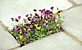 PLANTING BETWEEN PAVING, VIOLA TRICOLOR (HEARTSEASE)