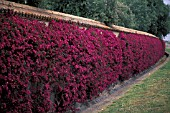 BOUGAINVILLEA GLABRA CLIMBING ON WALL IN  SICILY