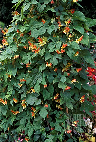 _IPOMOEA_LOBATA___MORNING_GLORY___FLOWERS_AND_FOLIAGE