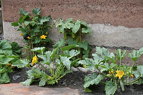 COURGETTES_AND_CUCUMBER_AGAINST_WALL