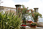 NERIUM OLEANDER,  CONTAINERS WITH PELARGONIUMS ON TERRACE,  VILLA RUFOLO,  RAVELLO,  ITALY