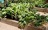 SWEETCORN,  COURGETTES,  STRAWBERRIES IN SMALL RAISED BED