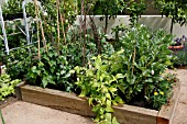 VEGETABLES IN RAISED BED,  BROAD BEANS,  PEAS,  FRENCH BEANS,  TAGETES AGAINST BLACK FLY