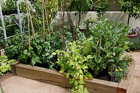 VEGETABLES_IN_RAISED_BED__BROAD_BEANS__PEAS__FRENCH_BEANS__TAGETES_AGAINST_BLACK_FLY_