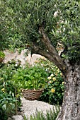 ROCKET,  ERUCA VESICARIA,  IN HANGING BASKET IN OLIVE TREE,  OLEA EUROPAEA