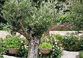 ROCKET,  ERUCA VESICARIA,  IN HANGING BASKETS ON OLIVE TREE,  OLEA EUROPAEA