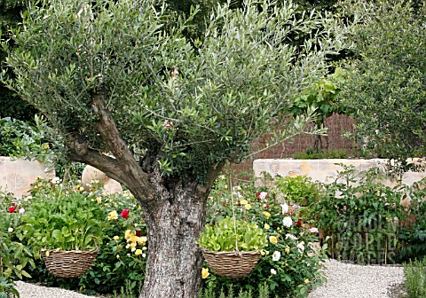 ROCKET__ERUCA_VESICARIA__IN_HANGING_BASKETS_ON_OLIVE_TREE__OLEA_EUROPAEA_