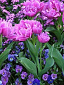 DOUBLE PINK TULIPS UNDERPLANTED BY VIOLA AND MYOSOTIS