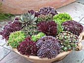 SUCCULENTS IN ALPINE PAN