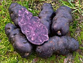 BLACK VITELOTTE POTATOES HARVESTED