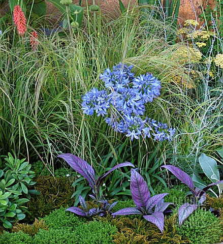 _AGAPANTHUS_IN_BORDER