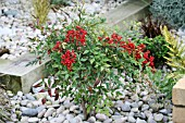 NANDINA DOMESTICA, (WINTER BERRIES)
