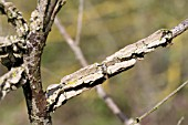 BRANCH FASCIATION,  DISEASE