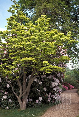 ACER_SHIRASAWANUM_AUREUM__WHOLE_TREE_SUMMER