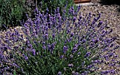 LAVANDULA GREY LADY
