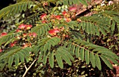 ALBIZIA JULIBRISSIN ROSEA,  DECIDUOUS, TREE, PINK, FLOWERS, LATE SUMMER, AUTUMN