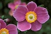 ANEMONE HUPEHENSIS HADSPEN ABUNDANCE,  PINK, FLOWER, CLOSE UP, LATE SUMMER, AUTUMN