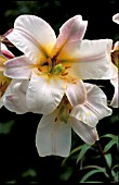 LILIUM,  REGALE,  REGAL LILY,  FLOWER