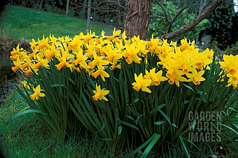 NARCISSUS_SMALL_DRIFT_PLANTED_BENEATH_A_TREE_