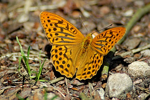 SILVER_WASHED_FRITILLARY_BUTTERFLY