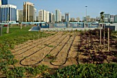 NEWLY ESTABLISHED FLOWER BEDS,  ABU DHABI