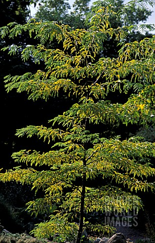 GLEDITSIA_TRIACANTHOS_OR_HONEY_LOCUST