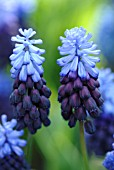 MUSCARI LATIFOLIUM. PARK OF KEUKENHOF. LISSE. HOLLAND, NETHERLANDS