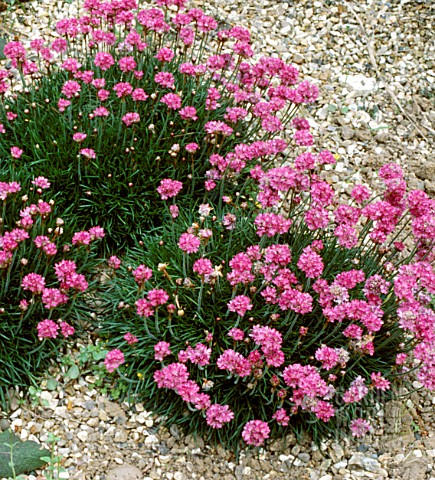 ARMERIA_MARITIMA_VINDICTIVE__PINK_FLOWERS_WHOLE_PLANT