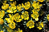 ERANTHIS HYEMALIS CUP SHAPED YELLOW FLOWERS,  FORMING FLORAL CARPETS.