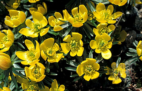 ERANTHIS_HYEMALIS_CUP_SHAPED_YELLOW_FLOWERS__FORMING_FLORAL_CARPETS__