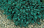 ACAENA BLUE HAZE, PEWTER,  PERENNIAL, EVERGREEN, BLUE, LEAVES, WHOLE, PLANT