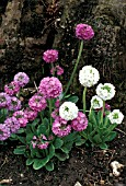 PRIMULA DENTICULATA,  DRUMSTICK PRIMROSE,  CLUMPS OF WHOLE PLANTS