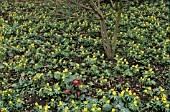 ERANTHIS HYEMALIS,  WINTER ACONITE,   IN A WINTER GARDEN