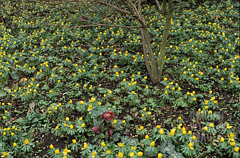 _ERANTHIS_HYEMALIS__WINTER_ACONITE___IN_A_WINTER_GARDEN