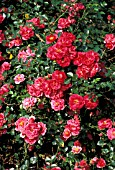 ROSA RED BELLS MINIATURE, GROUND COVER, ROSE